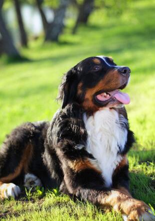 标准伯恩山犬图片欣赏