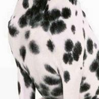 斑点狗胸部图片
