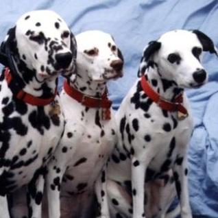 斑点狗颜色图片