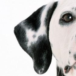 斑点狗耳朵图片