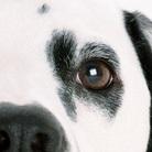 斑点狗眼睛图片