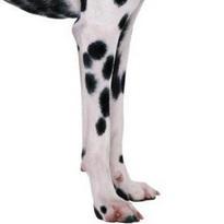 斑点狗前驱图片