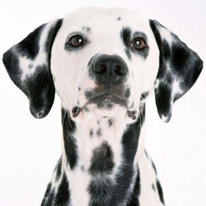 斑点狗头部图片