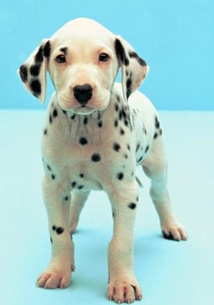 斑点狗高清图片