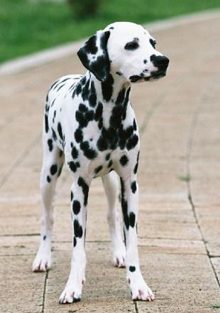 纯种斑点狗图片