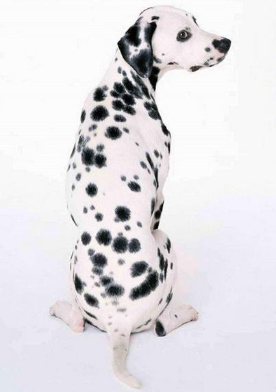 可爱的斑点狗图片