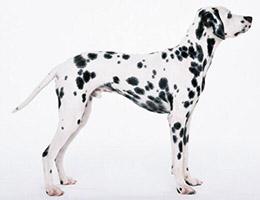 成年斑点狗图片
