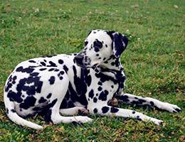标准斑点狗图片欣赏