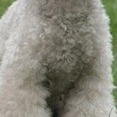 贵宾犬胸部图片