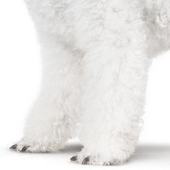 贵宾犬前驱图片