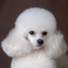贵宾犬头部图片
