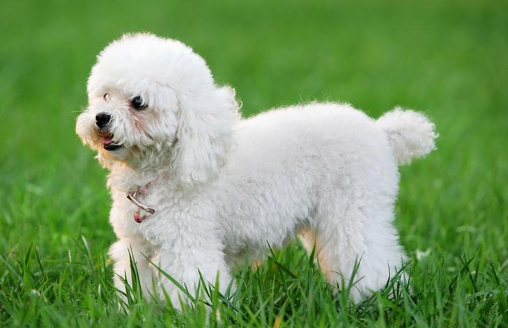 贵宾犬图片