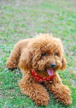 贵宾犬幼犬图片