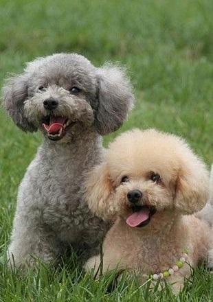 可爱的贵宾犬图片