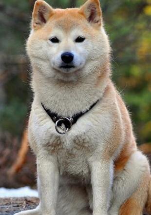 纯种秋田犬图片