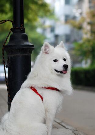 可爱的秋田犬图片