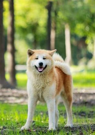 成年秋田犬图片