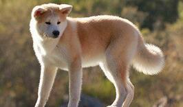 秋田犬幼犬图片