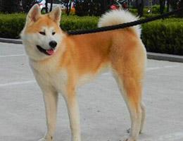 标准秋田犬图片欣赏