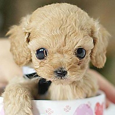 茶杯犬眼睛图片
