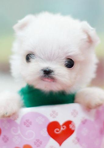 纯种茶杯犬图片