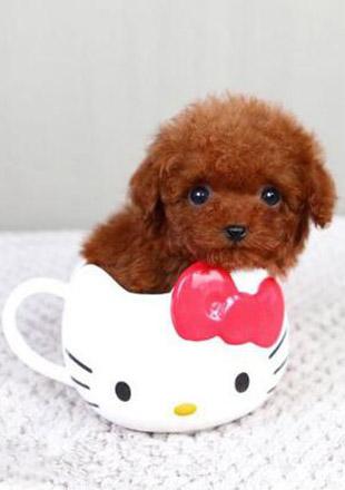 成年茶杯犬图片