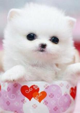 标准茶杯犬图片欣赏