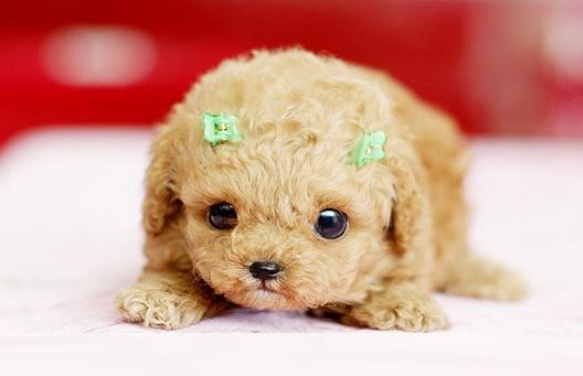 茶杯犬幼犬图片