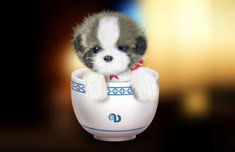 可爱的茶杯犬图片