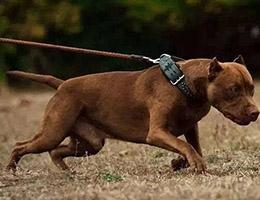 比特犬图片