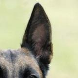 马犬耳朵图片