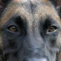 马犬眼睛图片