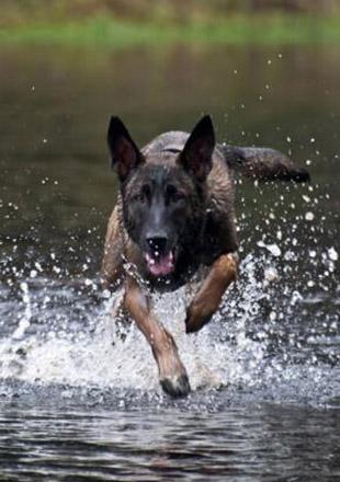 标准马犬图片欣赏