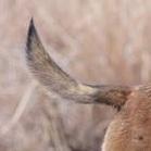 马犬尾巴图片