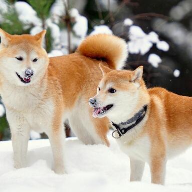 柴犬颜色图片