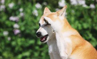 可爱的柴犬图片