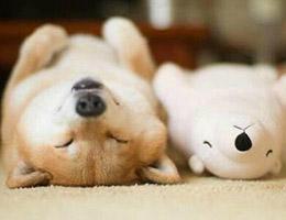 成年柴犬图片