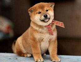 标准柴犬图片欣赏