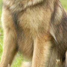 狼狗胸部图片