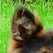 狼狗耳朵图片
