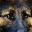狼狗眼睛图片