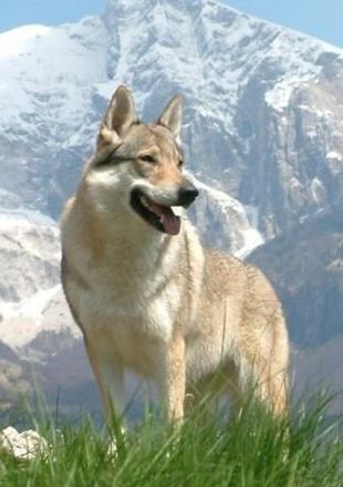 狼狗高清图片