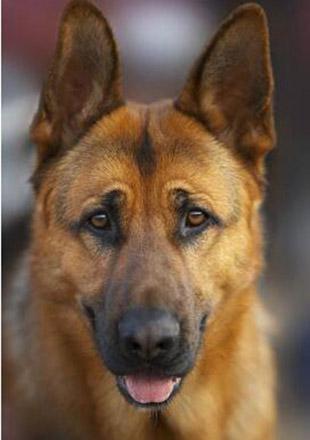 成年狼狗图片