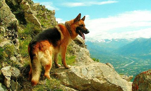 可爱的狼狗图片