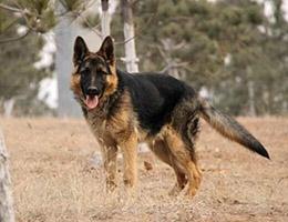 标准狼狗图片欣赏