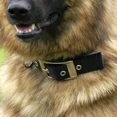 狼狗颈部图片