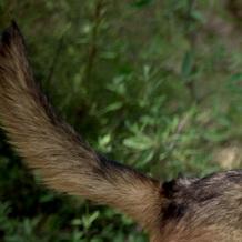 狼狗尾巴图片
