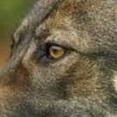 昆明犬眼睛图片