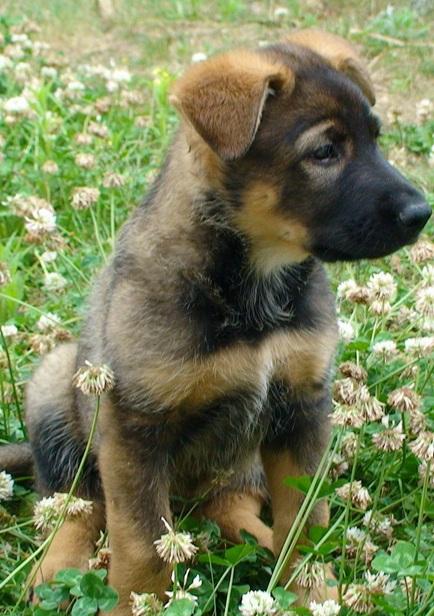 纯种昆明犬图片