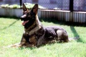 可爱的昆明犬图片
